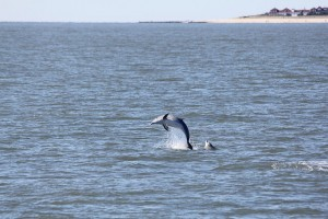 Frequency  and Correlation of Surface Observed Behaviors of the Bottlenose Dolphin (Tursiops truncatus) in Cape May, New Jersey.