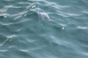 Portuguese Man o'War seen by Cape May Whale Watch and Research Center