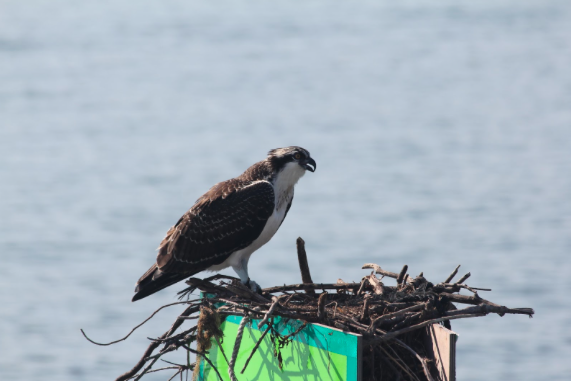 How Garbage is Harming Adult Ospreys and Their Chicks